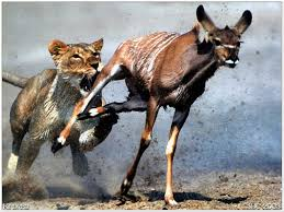 the lion and the gazelle huffpost lion the chase
