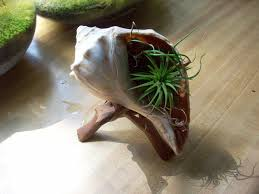 image of an airplant set in a conch shell