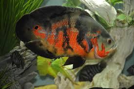 نتیجه تصویری برای ماهی اسکار