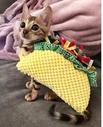cute kittens in halloween costumes. Perfect Halloween Cute Kitten With Halloween Taco Costume Inside Kittens In Costumes I