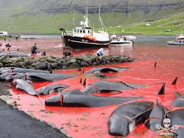 Image result for pilot whale slaughter