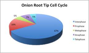 Cell Cycle Pie Chart Lab 6 Mitosis And Mieosis