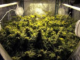 example of a room full of cans colas growing under an hps grow light