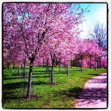 Kuvahaun tulos haulle roihuvuoren kirsikkapuisto