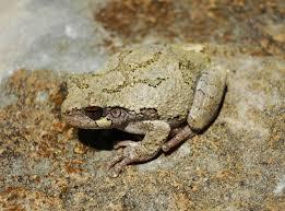 Gray Treefrog Wikipedia
