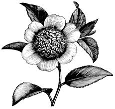 Camellia Japonica Anemonaeflora Camellia Flower Illustration Black