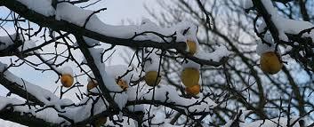 Billedresultat for sne på træerne