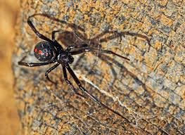 Northern Black Widow Is Rare In Wisconsin But Sightings