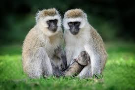 vervet monkey teeth. vervet monkeys monkey teeth o