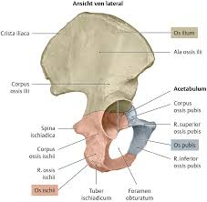 pubis bone diagram pubis database wiring diagram images os coxae diagram