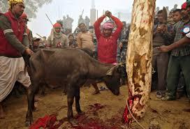 Resultado de imagem para nepal e o sacrifício de animais