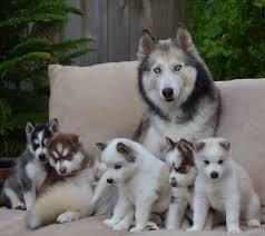 cute baby husky tumblr. Perfect Cute Mami  Image Saved From Thegoodvybetumblrcom Siberian Huskies  Siberian Husky Mom U0026 Puppies  And Cute Baby Tumblr