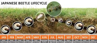 japanese beetles life cycle japanese beetle and grub control a m leonard inc