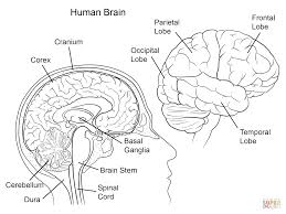 Small Picture Human Brain Anatomy Coloring Page Coloring Home