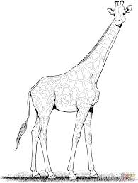 Printable Coloring Pages coloring page giraffe : Giraffe coloring page | Free Printable Coloring Pages