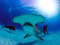 hammerhead shark habitat. Fine Hammerhead Great Hammerhead Shark Encounter Bimini Bahamas In Hammerhead Shark Habitat E