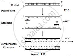 Solution For Describe The Steps Of Pcr Technique Hsc Science