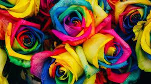 rainbow roses image