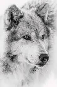 wolf face black and white. Simple Black Wolf Photograph  Face Close Up II By Athena Mckinzie Intended Black And White