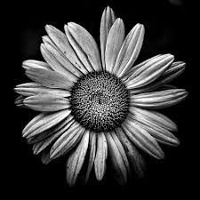 black and white flowers tumblr photography. Plain And Black And White Daisy Throughout And White Flowers Tumblr Photography L