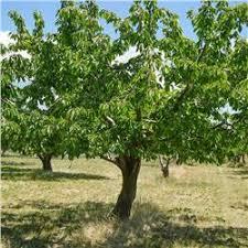 Do Kwanzan Cherry Trees Produce Fruit  Is Strawberry A FruitWhen Do Cherry Trees Bear Fruit