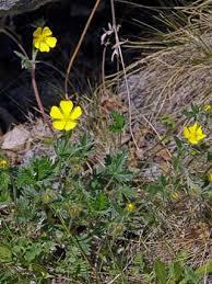 Snow Cinquefoil, Potentilla nivea - Flowers - NatureGate
