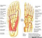 talpa piciorului anatomie