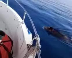 Cinghiali in mare aperto in Sicilia, al largo di Marzamemi (Siracusa): il  video del pescatore