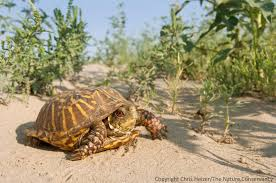 box turtle size ornate box turtle on gravel road brown county nebraska the