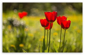red tulips flowers nature ultra hd