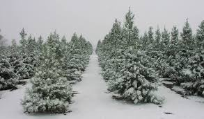 Image result for christmas tree pictures in snow
