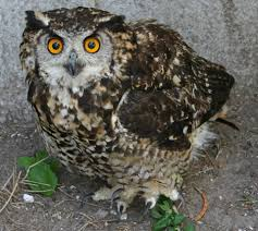 Where An Owl Egg Is Worth More Than Ivory Or Rhino Horn National