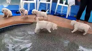 golden retriever puppies swimming. Contemporary Retriever Eight English Cream Golden Retriever Puppies  First Swim U0026 Jump YouTube For Swimming O