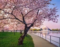 「National Cherry Blossom Festival」の画像検索結果