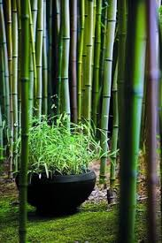 Small Picture The Beauty of Black Bamboo Phyllostachys nigra Balinese garden