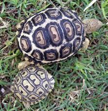 Leopard Tortoise Size Chart Leopard Tortoise Care Sheet