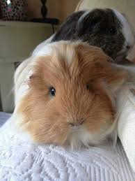 pin on guinea pigs and newspaper