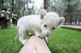newborn white lion cubs. Modren Newborn Newborn White Lion Cub  On Cubs O