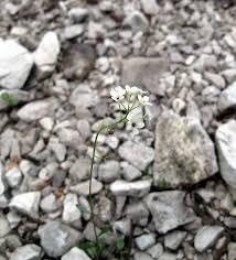 Kernera saxatilis (L.) Sweet {ID 4294} - Coclearia delle rupi - Forum ...