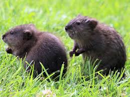Rodents Lower Classifications Muskrat