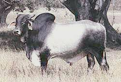 Introduced to australia in 1933. Cattle Breeds Brahman