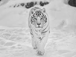 white tiger wallpaper desktop. Contemporary Wallpaper White Tiger Wallpaper For HD Desktop 1600x1200 Px 54213 KB Throughout T