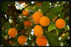 Fruit Glossary « EyeSteelFilmSmall Orange Fruit On Tree
