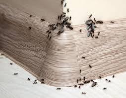 Résultats de recherche d'images pour «infestation de fourmis dans les maison photo»