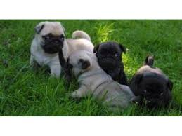 pug puppies. Beautiful Puppies Ii Kk AKC Reg Fawn And Black Males Females Pug Puppies For Sale 400 Inside N