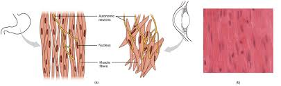 The posterior wall of the trachea not covered by cartilage is composed of connective tissue and smooth muscle. Smooth Muscle Anatomy And Physiology I