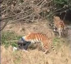 Family of man mauled to death by pack of tigers blames zoo for ...