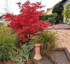when to fertilize japanese maple trees