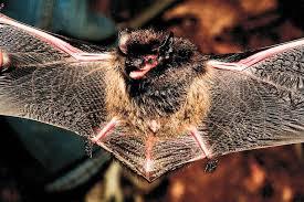 Bat Species Chart Bats Flying Mammals Mdc Discover Nature