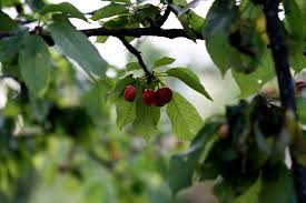 Mulberry Trees  Product Categories  Just Fruits And ExoticsFruit Trees For North Florida